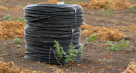 rolls pvc pipes for irrigation campaign to cultivate tomatoes in Puglia. Italy