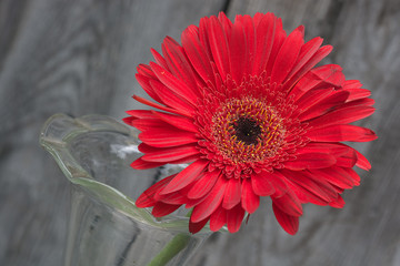 red gerbera flower in the vase close-up against wooden wall, tilted angle