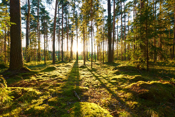 Wall Murals Forest Sunrise in pine forest