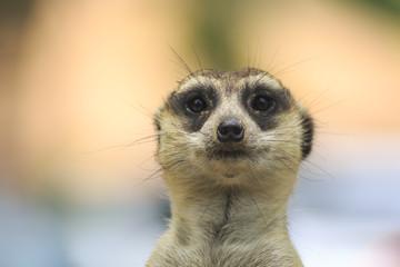 Staring meerkat in nature. Front view.