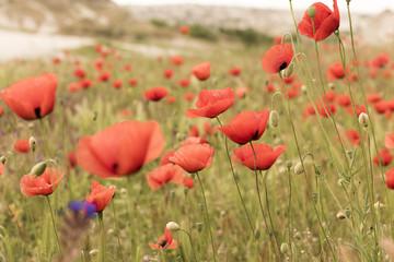 Wall Mural - red poppy field