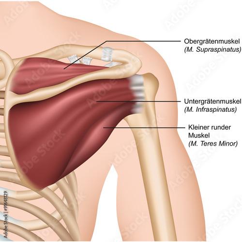 Anatomie Rotatorenmanschette, Schulter hinten\