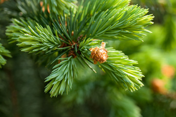 young fir branch