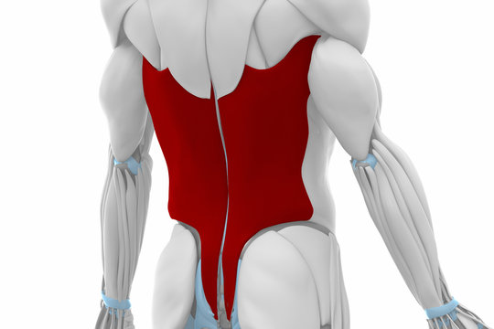 Latissimus dorsi - Muscles anatomy map