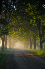 Country road running through tree alley in the morning fog, Pomerania, Poland