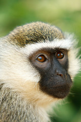 Vervet monkey face in African jungle