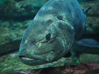 Close Up Blue Gray Fish with Large Mouth and Pebbled Texture