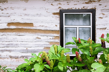Pokeweed or pokeberry foliage and fruit and wooden wall from log