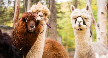 Fotorolgordijn Lama Domestic Llama Group Farm Livestock Animals