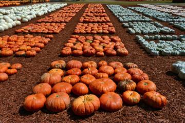 Autumn seasonal pumpkin harvest on a farm field