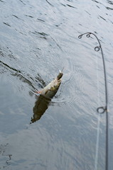 Fish caught on spinning
