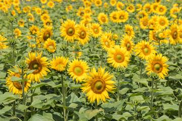 field of sunflowers in bloom