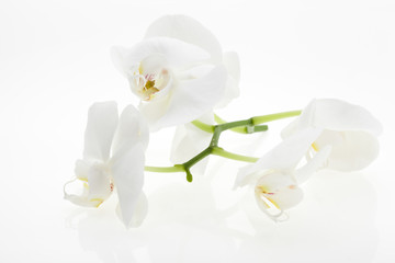 White orchids, bauty, with reflection