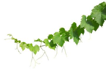 Photos illustrations et vid os de feuilles de vigne - Feuille de vigne dessin ...