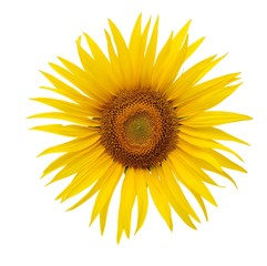 A bright yellow sunflower isolated on a white background.