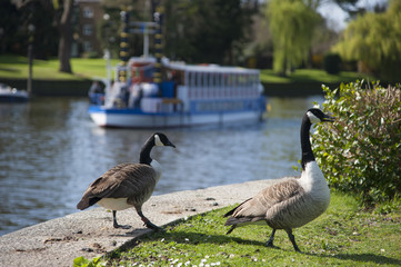 Two geese and a boat on a canal