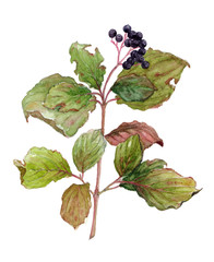 Watercolor branch of elderberry