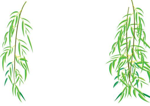 Willow tree branchs Vector illustration