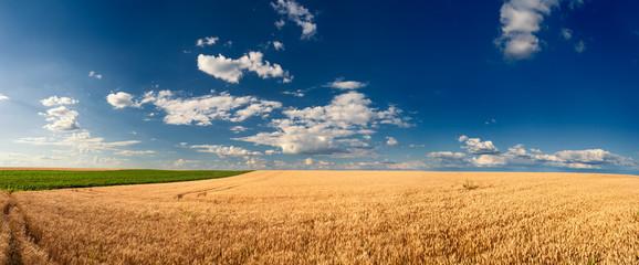 Golden wheat fields before harvest