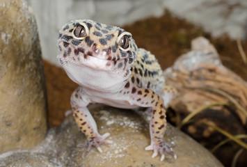 Hast'n Heimchen??? Leopardgecko
