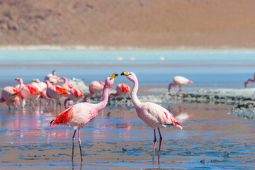 "Two pink flamingos at ""Laguna Colorada"" on the Bolivian Andes"
