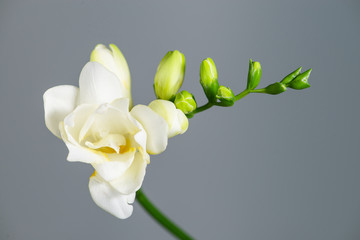 The branch of white freesia with flowers and buds on a gray back