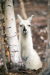 Domestic Llama Laying Down Farm Livestock Animals