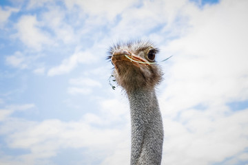The face of an ostrich on the farm