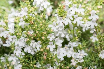 Closeup of a Thyme bush, Italy