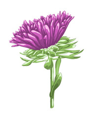 Beautiful purple aster isolated on white background