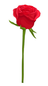 beautiful red rose with long stem isolated on white.
