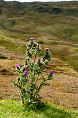 Wild Thistle growing in Scotland
