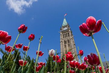 Peace tower and tulips at Parliament Building  Ottawa Canada Wall mural