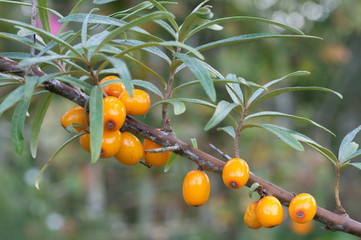 sea buckthorn berries in a tree