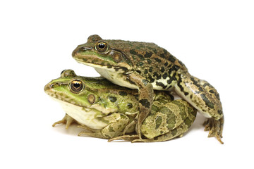 Two mating frogs on a white background
