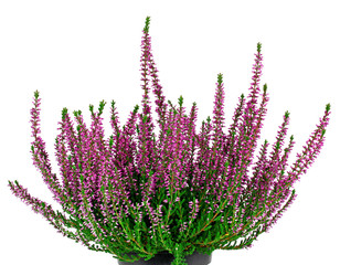 Heather, Calluna vulgaris, on white background