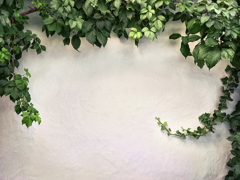 climbing plant on the white plaster walls
