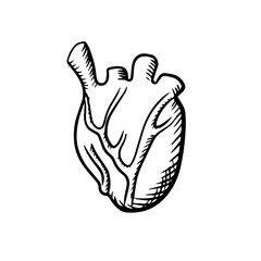 Human heart in sketch style