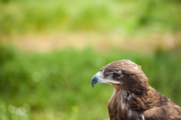 eagle looks