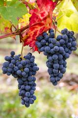 Fototapete - Herbst: Süße, reife, blaue Trauben :)