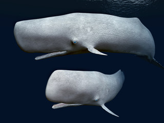 Two Sperm Whales