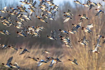 Flying Flock of Migratory Eurasian wigeon (Anas penelope)