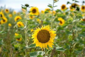 Fotoväggar - Sonnenblume unter Sonnenblumen