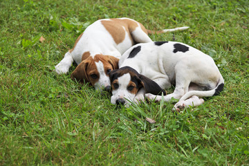 Beagle Hound Dog Puppies