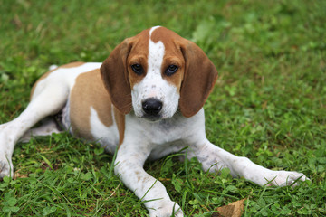 Beagle Hound Dog Puppy