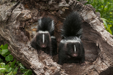 Wall Mural - Baby Striped Skunk (Mephitis mephitis) Kits with Tails Up