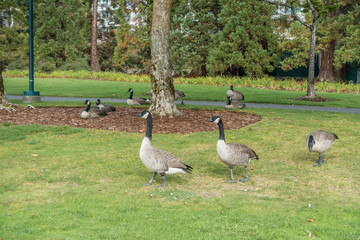 Geese At Coulon Park 2