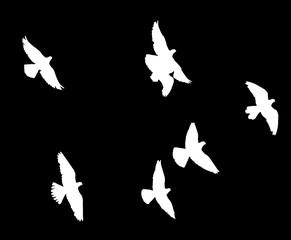 flock of pigeons on a black background