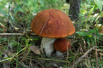 Group of orange-cap boletus in autumn forest