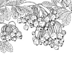 Black ink graphic drawing autumn bunches of Rowan on white backg